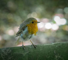 Wee Robin by whitephotographySCOT