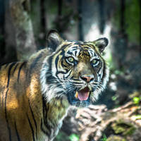 Tiger by whitephotographySCOT