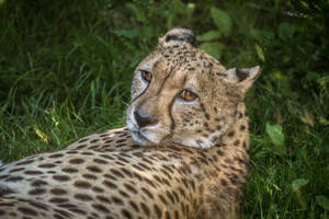 Cheetah by whitephotographySCOT