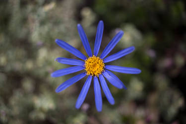 Blue Flower by whitephotographySCOT