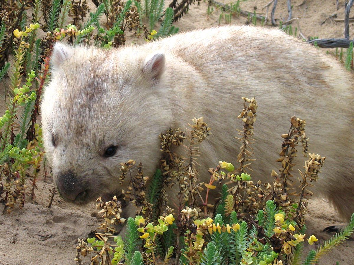 Albino wombat - photo#1