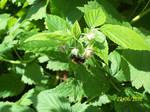 Raspberry bush in bloom