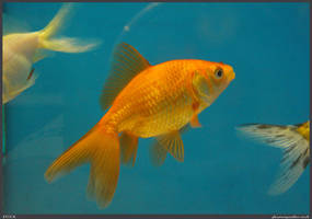 Fish Stock 0039 by phantompanther-stock