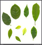 Leaf Stock 002