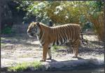 Tiger Stock 001