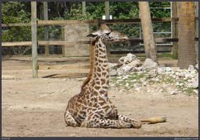Giraffe Stock 001 by phantompanther-stock