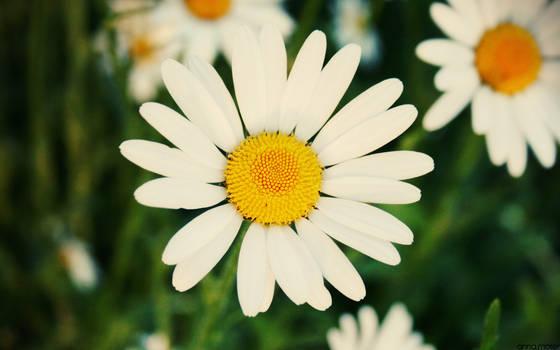 flower- wallpaper