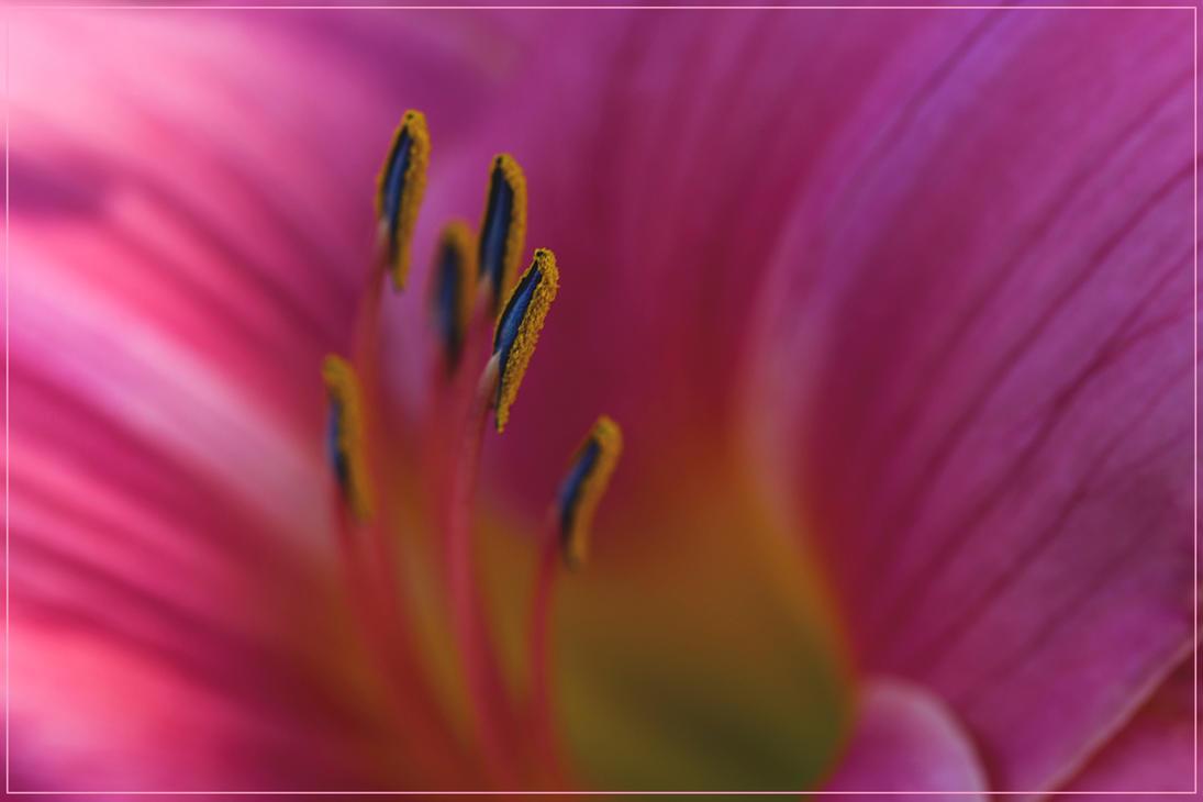 Pink by HeikoRademacher