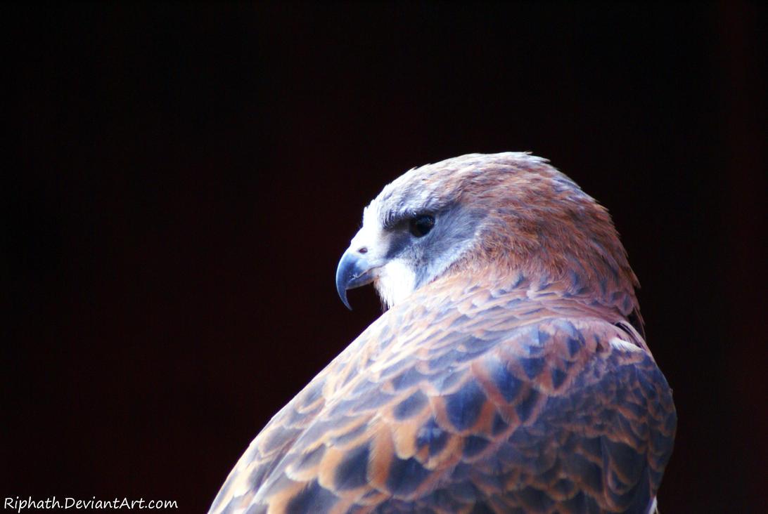 Swainson's Hawk by Riphath