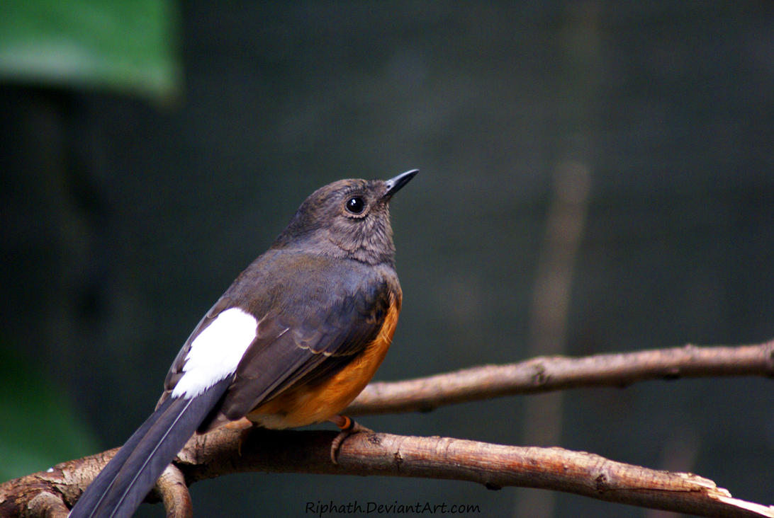 White-rumped Shama by Riphath