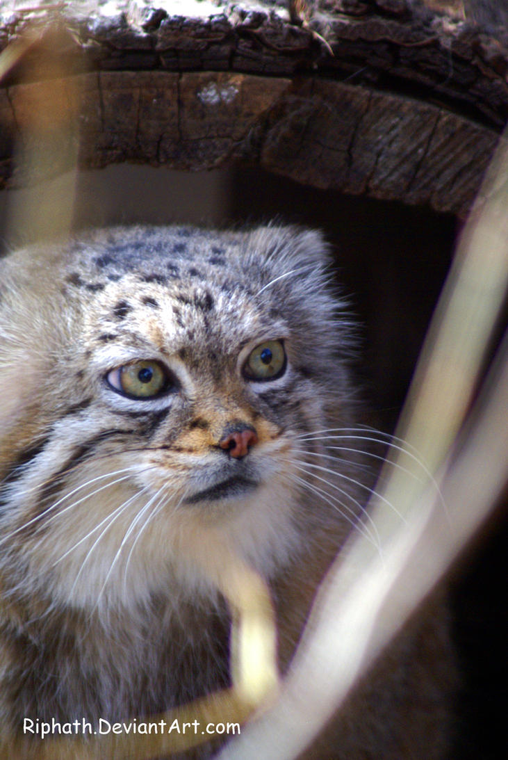 Pallas Cat by Riphath