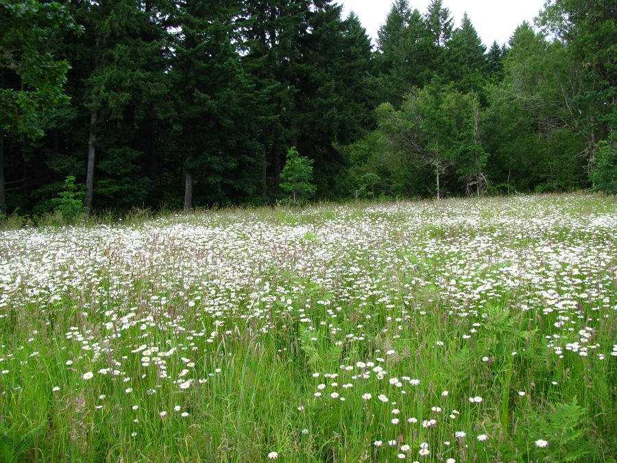 Field of Daisies by Whimseystock on DeviantArt Field Of Daisies