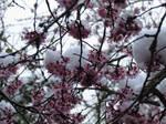 Flowering Plums in Snow