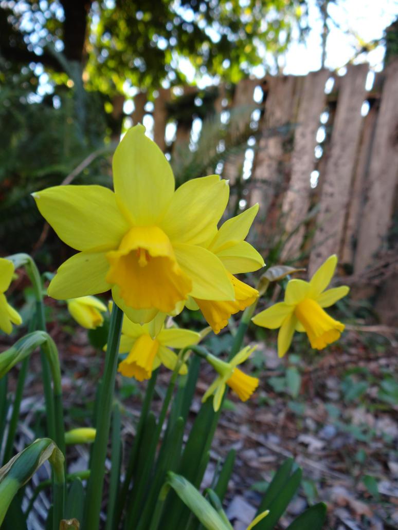Daffodil Fun by Whimseystock