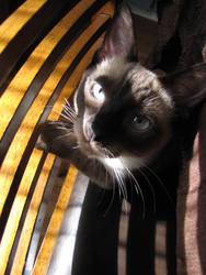 Blue-Eyed Striper