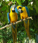 Macaws yellow and blue