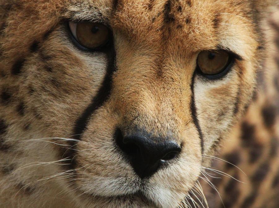 Cheetah by rhiannonphillips