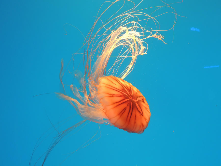 .:.:.Baltimore Aquarium Jelly Fish.:.:. by fenderbender368