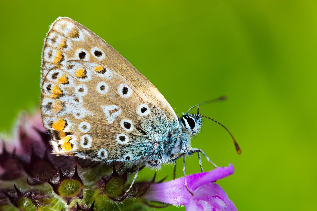 Sunit Butterfly by Wivelrod
