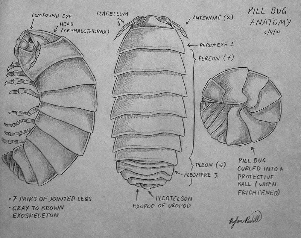 Pill Bug Anatomy By Sketchbot400 On Deviantart
