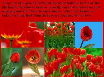 Tulips by fallenlover72