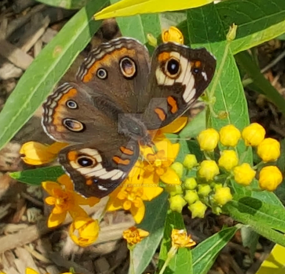 Butterfly Pavilion 2017-Sunning Buckeye by ChocolateStarfire