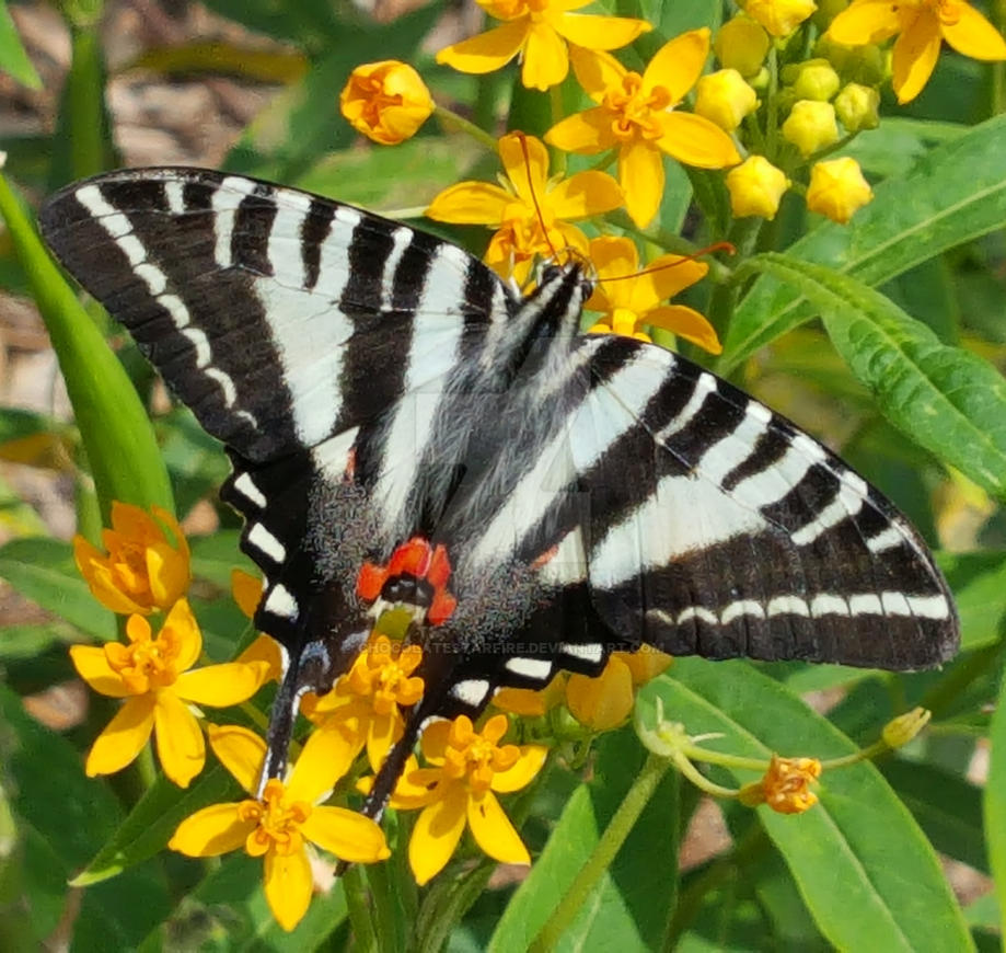 Butterfly Pavilion 2017-Sunning Zebra Swallowtail by ChocolateStarfire