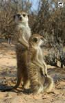 Meerkats of the Kalahari