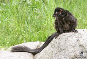Lemur on a rock by jaffa-tamarin