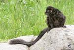 Lemur on a rock