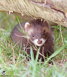 The weasel under the log
