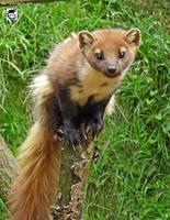 Tree weasel by jaffa-tamarin