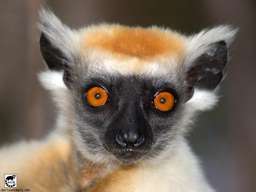 Look into the eyes of the lemur
