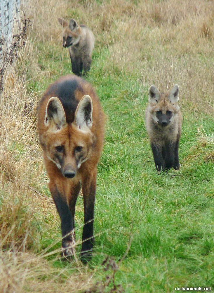 Maned Wolf Pictures Maned Wolf Family by Jaffa