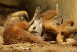Meerkat paw explosion!