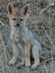 Baby jackal