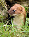 Surprise stoat