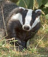 Being a badger by jaffa-tamarin