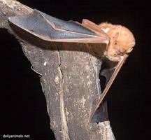 Red bat portrait by jaffa-tamarin