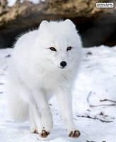 Fox trot by jaffa-tamarin