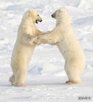 Dance of the white bears (II) by jaffa-tamarin