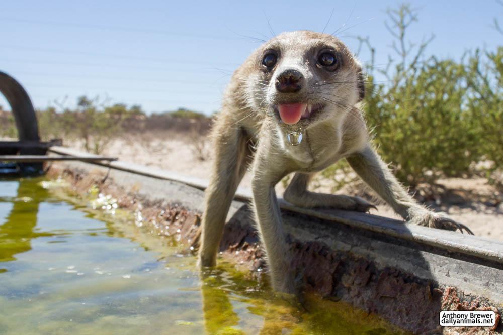 A meerkat drinks