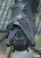 Bats are waterproof by jaffa-tamarin