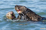 Sea otters are not gentle lovers
