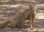 A mongoose and his mother
