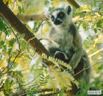Softly goes the lemur