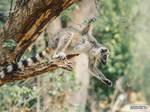 Lemur hunts larva