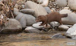 Mink on the rocks by jaffa-tamarin