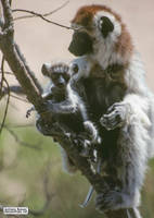 A baby sifaka is like a gremlin by jaffa-tamarin