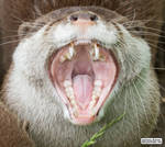Into the mouth of otter